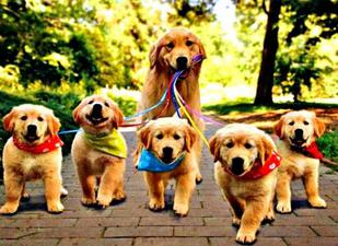 Buy Golden Retriever Puppies Here